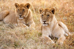 Couple of young lion cubs in natural grassland environment Stock Photography