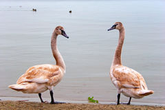 Couple of young swans Stock Photos