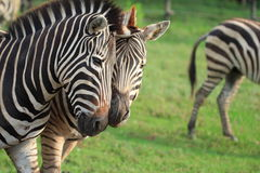 Couple Zebra Royalty Free Stock Photo