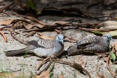 Couple Zebra dove relaxing on ground Stock Photos