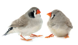 Couple Zebra finch Royalty Free Stock Photography