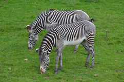 Couple of Zebras Eating Grass in a Field Stock Photos
