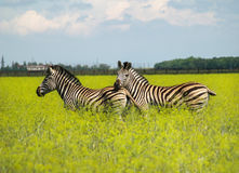 A couple of zebras in the flowering prairie. Royalty Free Stock Image