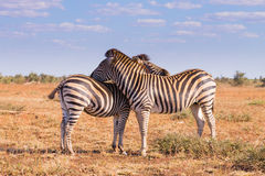 Couple of zebras from Kruger National Park, equus quagga Stock Images