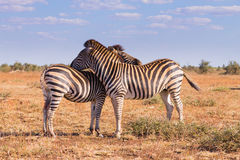 Couple of zebras from Kruger National Park, equus quagga. Couple of zebras from Kruger National Park. African wildlife.  equus quagga. South Africa Royalty Free Stock Image
