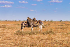 Couple of zebras from Kruger National Park, equus quagga Stock Image