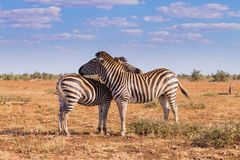 Couple of zebras from Kruger National Park, equus quagga Royalty Free Stock Image