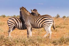 Couple of zebras from Kruger National Park, equus quagga. Couple of zebras from Kruger National Park. African wildlife.  equus quagga. South Africa Stock Photo