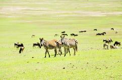 Couple Zebras Stock Image