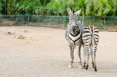 Couple of zebras posing outdoors. Couple posing outdoors zebras, one front and one back. Horizontal Photography Stock Photo