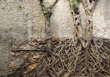 Coupled Trees on Wall Stock Photography