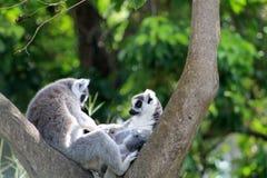 Couples affectueux de lémur Photographie stock libre de droits