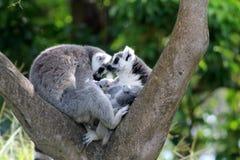 Couples affectueux de lémur Images stock