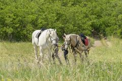 Couples affectueux marchant avec des chevaux au jour ensoleillé Deux chevaux marchent dans le domaine Photographie stock