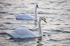 Couples blancs de cygne sur l'eau Image libre de droits