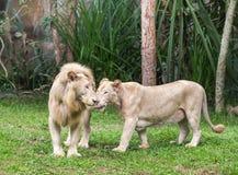 Couples blancs de lions poussant du nez le câlin dans le moment affectueux tendre Image libre de droits