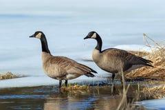 Couples canadiens d'oies dans l'étang Images stock