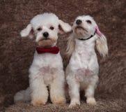 Couples chics de bichon se reposant avec sur rechercher Photographie stock