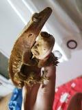 Couples crêtés de gecko image libre de droits