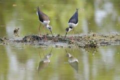 Couples d'échasse noir-à ailes, himantopus de himantopus Images stock