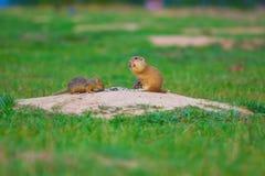 Couples d'écureuil moulu Les écureuils moulus alimentent dans le pré Petit animal dans le grassi Photo libre de droits