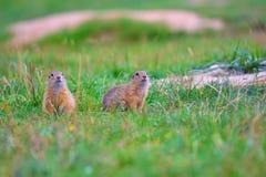 Couples d'écureuil moulu Les écureuils moulus alimentent dans le pré Petit animal dans le grassi Photographie stock libre de droits