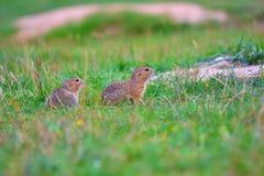 Couples d'écureuil moulu Les écureuils moulus alimentent dans le pré Petit animal dans le grassi Image libre de droits