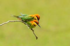 Couples d'Abeille-mangeur à tête de châtaigne Photo libre de droits