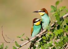 couples d'Abeille-mangeur Photographie stock libre de droits