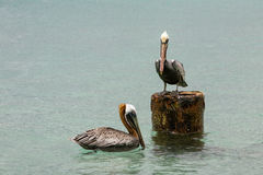 Couples d'albatros Images libres de droits