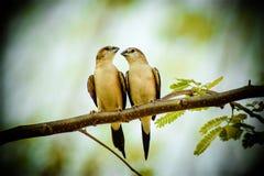 Couples d'amour d'oiseaux Images libres de droits