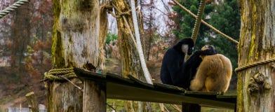 Couples d'amour des gibbons, mâle tenant la femelle, primats tropicaux photographie stock libre de droits