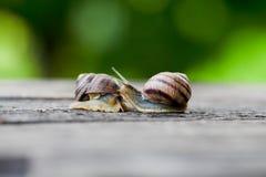 Couples d'escargot Analogie d'amour d'escargot Photographie stock