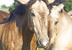 Couples d'haut étroit de chevaux Photos stock