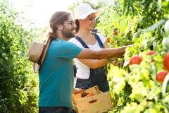 Couples d'horticulteur moissonnant les tomates fraîches et mettant sur un panier du jardin photo stock
