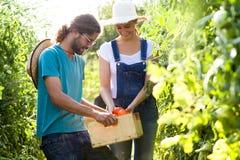 Couples d'horticulteur moissonnant les tomates fraîches et mettant sur un panier du jardin image libre de droits