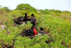 Couples d'oiseau de frégate pendant la saison d'accouplement Image libre de droits