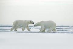 Couples d'ours blanc caressant sur la glace de dérive dans le Svalbard arctique Images stock