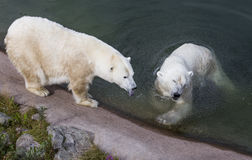 Couples d'ours blanc dans le zoo de Ranua photographie stock