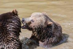 Couples d'ours de Brown caressant dans l'eau Jeu de deux ours bruns dans l'eau Photos libres de droits