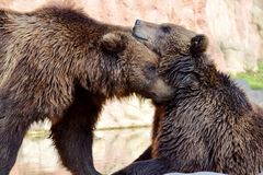 Couples d'Ursus Arctos Beringianus d'ours de Brown caressant images libres de droits