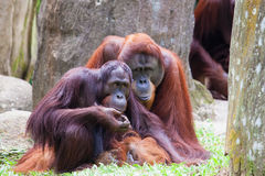 Couples d'Utan d'orang-outan Photos libres de droits