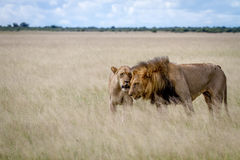 Couples de accouplement de lion dans la haute herbe photo stock