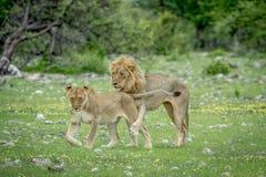 Couples de accouplement des lions dans l'herbe photo libre de droits