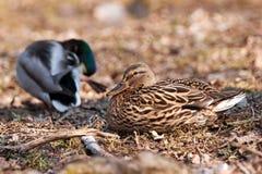 Couples de canard Photos stock