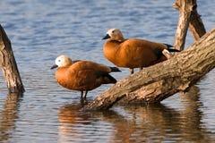 Couples de canard Photographie stock libre de droits