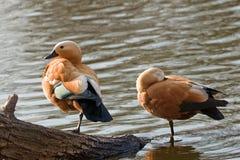 Couples de canard Images libres de droits
