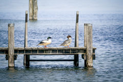 Couples de canard Photographie stock