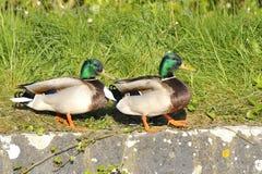 Couples de canard de canard Image libre de droits