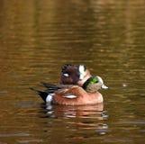 Couples de canard de natation de canard siffleur américain Photographie stock libre de droits